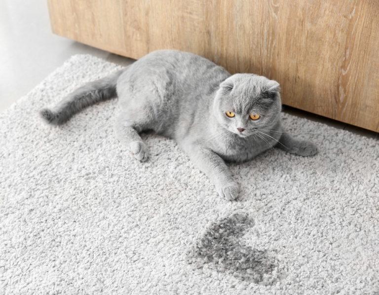 Comment reconnaître et soigner une cystite idiopathique chez le chat ?