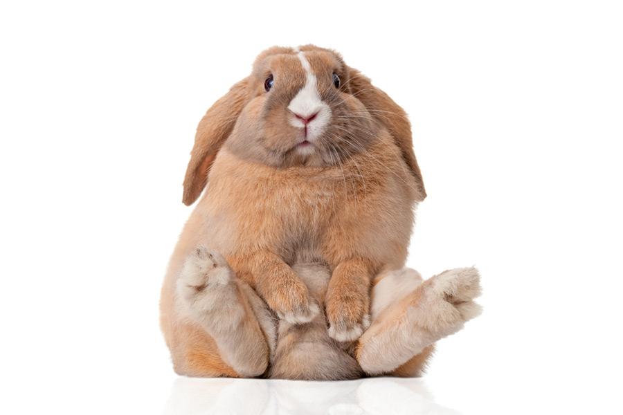 Alimentation du lapin de compagnie : Comment éviter que mon lapin devienne obèse ?