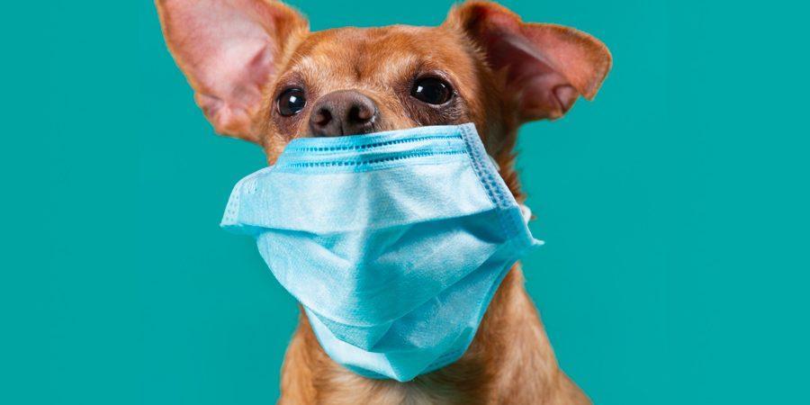 Transmission du coronavirus (covid-19) aux animaux de compagnie