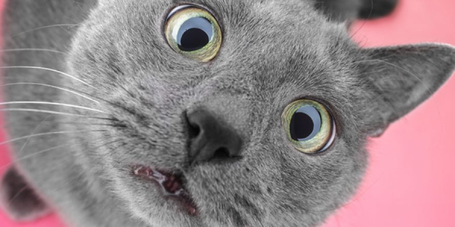 Les chats et les allergies